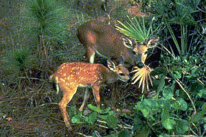 Florida key deer. Photo courtesy U.S. Fish and Wildlife Service