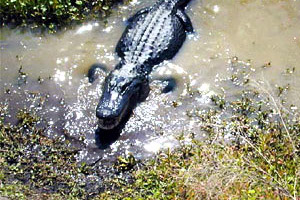 American alligator. Photo courtesy U.S. Geological Survey