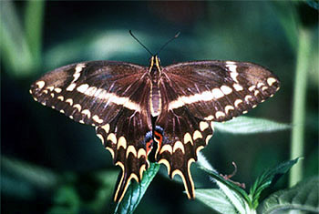 Schaus Swallowtail Butterfly. Photo courtesy U.S. Fish and Wildlife Service
