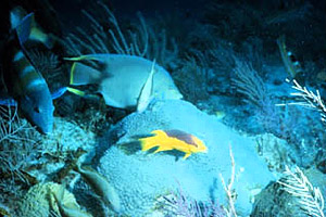 Florida reef scene. Photo courtesy NOAA