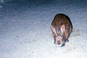 Marsh rabbit. Photo courtesy U.S. Geological Survey