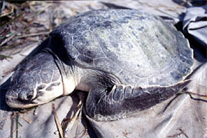Atlantic Ridley sea turtle. Photo courtesy U.S. Geological Survey
