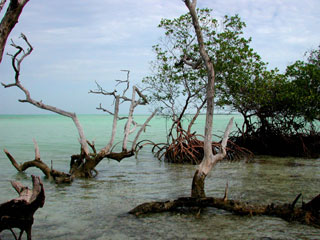 Mangrove shoreline in the Florida Keys. Photo © Cathleen Bester / Florida Museum