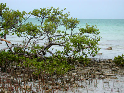 Black Mangrove with Surrounding Pneumatophores © Cathleen Bester / Florida Museum