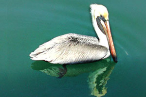 Brown pelican (Pelecanus occidentalis). Photo © Cathleen Bester/Florida Museum