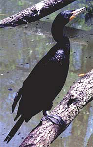 Double-crested cormorant (Phalacrocorax auritus). Photo courtesy U.S. Geological Survey