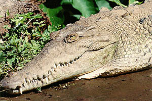 American crocodile (Crocodylus acutus). Photo courtesy U.S. Fish and Wildlife Service