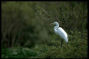Great egret (Casmerodius albus). Photo courtesy South Florida Water Management District