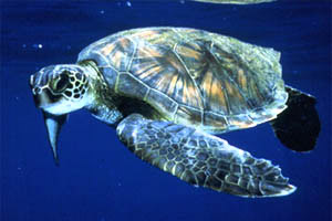 Green sea turtle (Chelonia mydas). Photo courtesy U.S. Fish and Wildlife Service