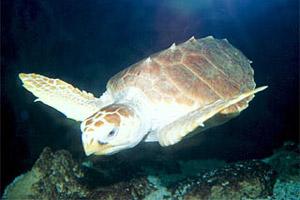Loggerhead sea turtle (Caretta caretta caretta). Photo © Don Getty