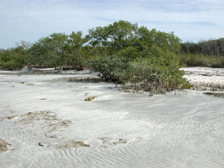 Mangroves stabilize shorelines. Photo © Cathleen Bester / Florida Museum