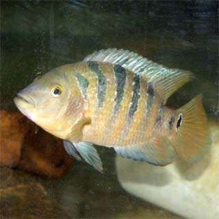 Mayan cichlid. Photo courtesy U.S. Geological Survey