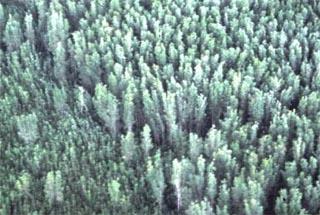 Melaleuca forest
