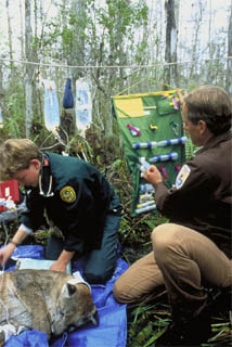 Florida panther health exam. Photo courtesy U.S. Fish and Wildlife Service