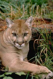 Florida panther. Photo courtesy U.S. Fish and Wildlife Service