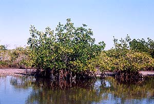 Mangrove Habitat. Photo © Florida Museum