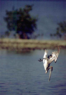 Pelican diving for fish. Photo courtesy South Florida Water Management District