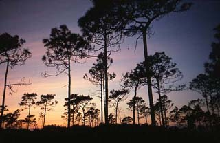 Pinelands. Photo © Maynard Hiss