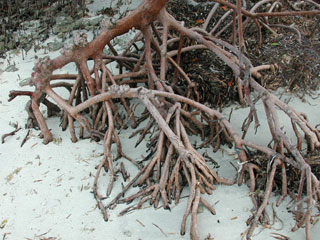 Prop roots of the red mangrove. Photo © Cathleen Bester / Florida Museum