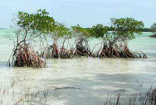 Red mangroves. Photo © Cathleen Bester / Florida Museum