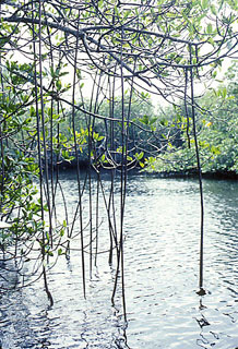 Mangrove root adaptations. Photo courtesy South Florida Water Management District