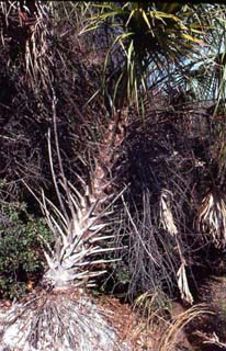 Cabbage palm. Photo © Maynard Hiss