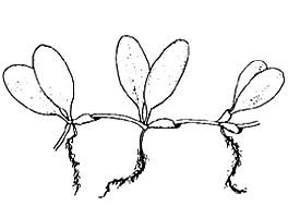 Paddle grass illustration, courtesy U.S. Fish and Wildlife Service