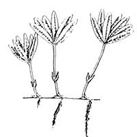 Star grass illustration, courtesy U.S. Fish and Wildlife Service