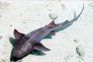 Nurse shark (Ginglymostoma cirratum). Photo © Tobey Curtis