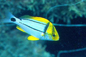 Porkfish (Anisotremus virginicus). Photo © Luiz Rocha