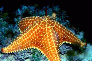 Bahamian starfish (Oreaster reticulatus). Photo © Don DeMaria