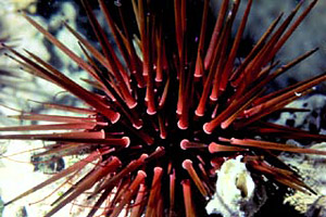 Sea urchin. Photo © Don DeMaria