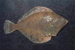 Southern flounder (Paralichthys lethostigma). Photo courtesy NOAA