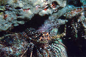 Spiny lobster (Panulirus guttatus). Photo courtesy Paige Gill, Florida Keys NMS/NOAA