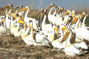 White pelicans (Pelecanus erythrorhynchos). Photo courtesy U.S. Geological Survey