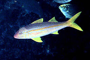 Yellow goatfish (Mulloidicthys martinicus). Photo © James Van Tassell