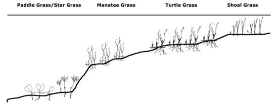 Seagrass zonation depth chart