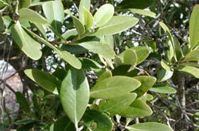 White mangrove. Photo © Cathleen Bester / Florida Museum