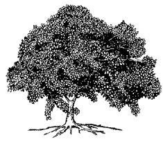 White mangrove. Illustration courtesy NOAA