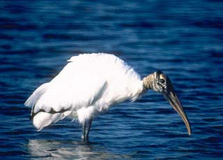 Wood stork. Photo courtesy U.S. Fish and Wildlife Service