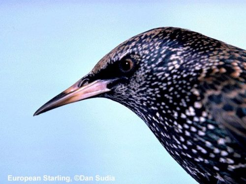 European Starling | Sturnus vulgaris