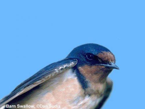 Barn Swallow | Hirundo rustica