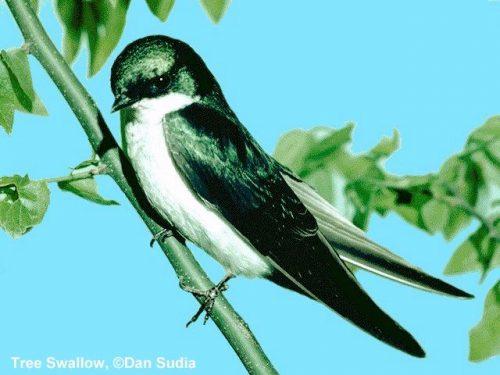 Tree Swallow | Tachycineta bicolor
