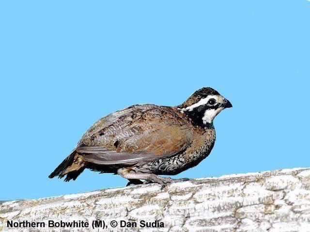 Florida Bird Sounds – Ornithology Collection