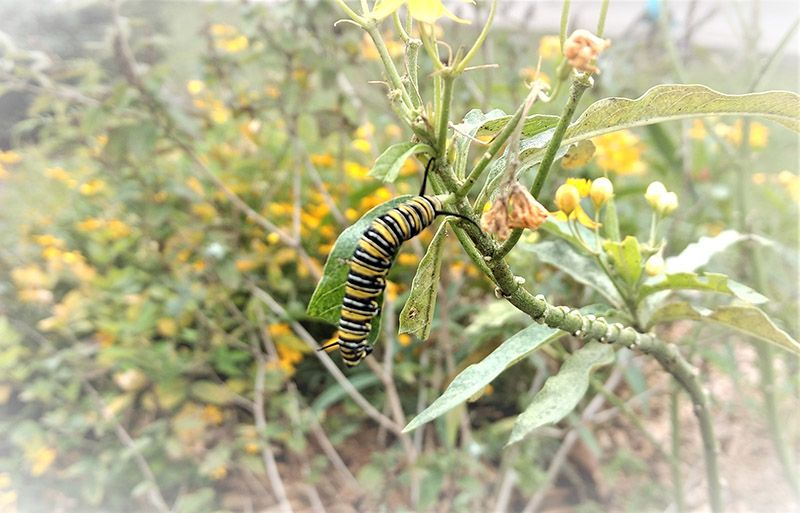 black, white, and yellow striped caterpillar