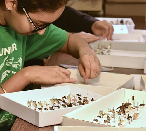 High school student working with tray of pinned butterflies