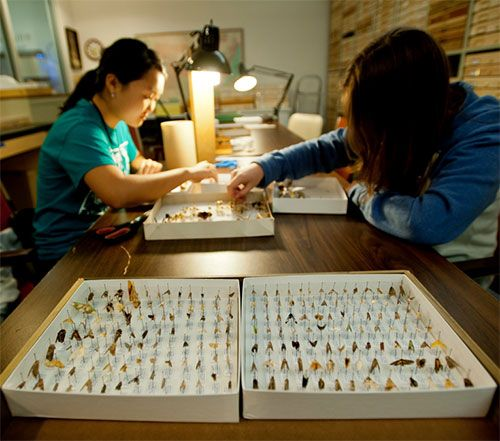 two women working reaching into tray with pinned butterflies.