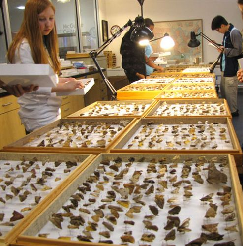 High school students looking at trays of pinned butterflies