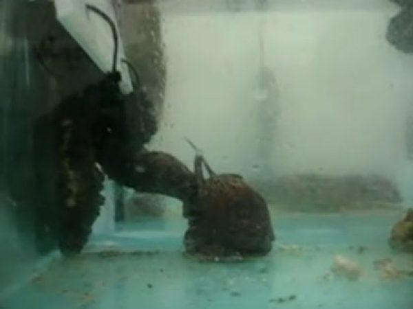 Tonna perdix eating Stichopus