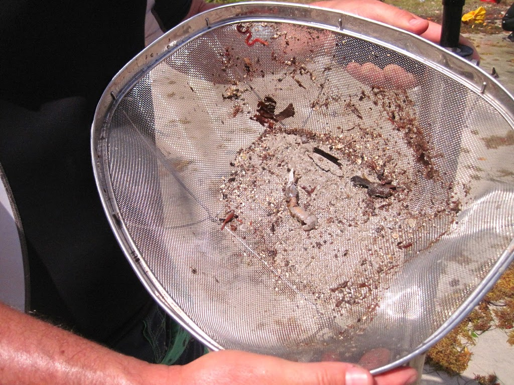 extracted shrimp